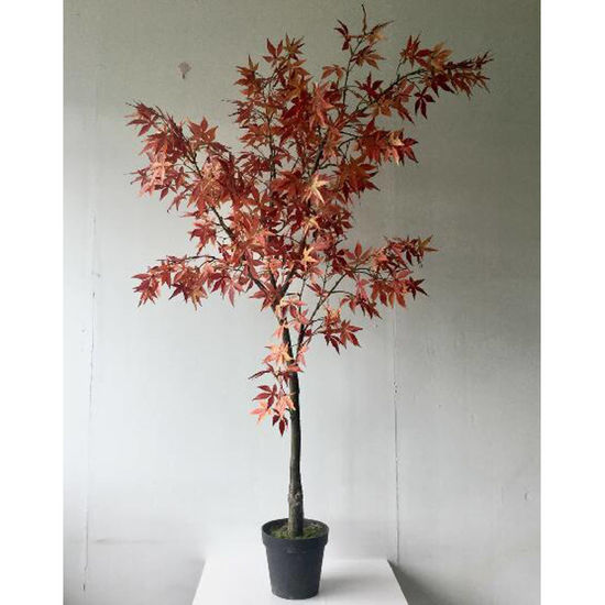 Picture of Large Acer Tree